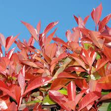 arbuste feuillage pourpre persistant arbustes persistants plantes et jardins