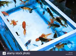aquarium fishes japanese gold fish calcutta kolkata west