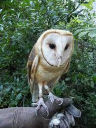 North American Barn Owl Greer European Barn Owl At Busch Gardens Blog Animals