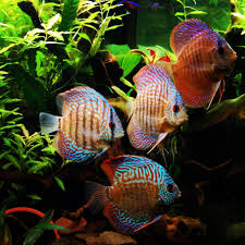 freshwater fish most beautiful freshwater fish 2014 ratemyfishtank com