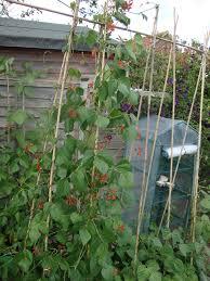 runner beans two chances veg plot blog page 2