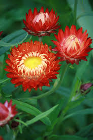 native australian flowering plants wholesale nursery sustainable natives