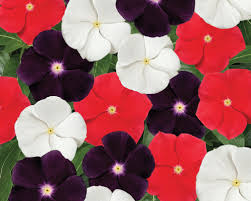 vinca flower vinca flower seeds vinca annual flowers farmer