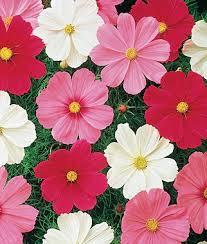 best 25 cosmos flowers ideas on pinterest cosmos flower