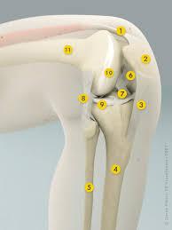3d Knee Anatomy Hip U0026 Knee Advice Knee Procedures