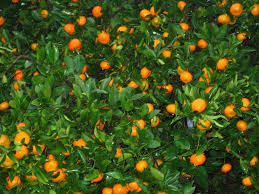 growing tangerines tips about caring for tangerine trees