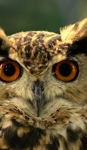 Owls Head Transportation Museum Barn Fresh The Best Places To See Owls In America Roadtrippers