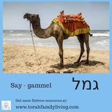 Flashcards Hebrew Camel Gammel Free Hebrew Flashcards Hebrew Pinterest