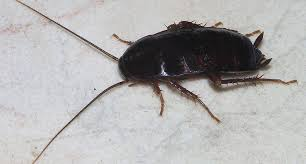 How To Get Rid Of Roaches In The Bathroom How To Get Rid Of Roaches U2013 The Complete Guide To Killing Cockroaches