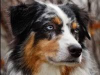 rescue a australian shepherd pennsylvania australian shepherd rescue groups