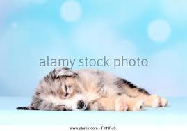 6 week old mini australian shepherd cute miniature australian shepherd puppy stock photos u0026 cute