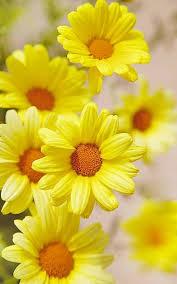 25 daisy flower pictures ideas daisy love