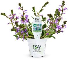 new wonder fan flower scaevola aemula proven winners