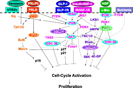 Cell Cycle Concept Map Human β Cell Proliferation And Intracellular Signaling Diabetes