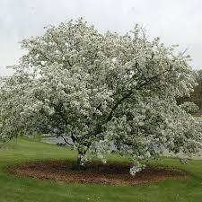 Profusion Flowering Crabapple - donald wyman crabapple buy online at nature hills nursery