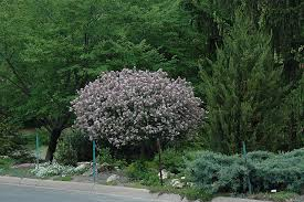 korean lilac tree form syringa meyeri palibin tree form