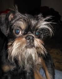 affenpinscher vs yorkshire terrier zao the brussels griffon dog at 11 months old it is a cross