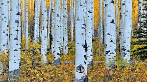 aspen tree wallpaper birch tree 1639197