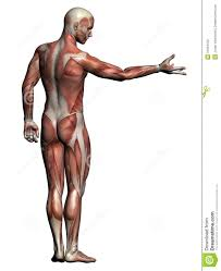 Human Anatomy Muscle Inner Body Parts Images Male Inner Body Parts Photo Anatomy Chart