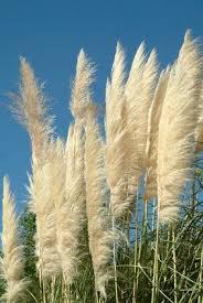 best 25 ornamental grasses ideas on grasses