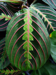 Easy Apartment Plants How To Grow Prayer Plants U0026 Prayer Plant Propagation Prayer