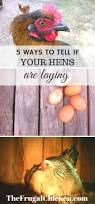 the 5 best ways to tell if your hens are laying hens coops and