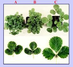 Plant Diseases Wikipedia - strawberry vein banding virus wikipedia