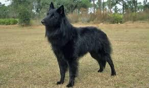 belgian shepherd killed heroic police dog killed during paris raid india com