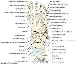 Anatomy Of The Calcaneus Best 25 Foot Anatomy Ideas On Pinterest Anatomy Anatomy Study