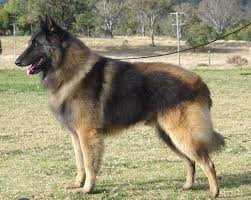 belgian sheepdog size and weight 13 best belgian tervuren images on pinterest belgian shepherd