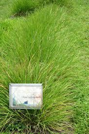 Oryza rufipogon