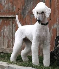 afghan hound grooming styles 369 best images about grooming on pinterest poodles creative
