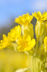 Fragrant Shade Plants - 164 best fragrant images on pinterest garden ideas plants and