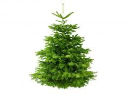 real christmas tree real christmas trees withal real christmas tree big