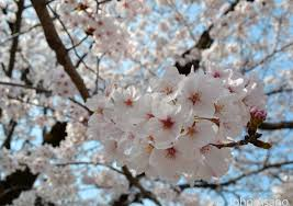 japan cherry blossom forecast 2017 japan travel advice