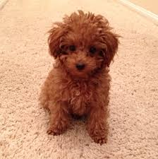 Gingerdoodle by Toy Poodle Dog Picture Same Hair Color As Mine Indulgences