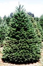 douglas fir tree douglas fir oregon pine pseudotsuga menziesii new mexico