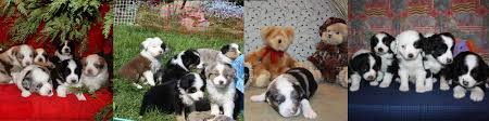 australian shepherd quebec sprucehill mini aussies registered australian shepherd miniature