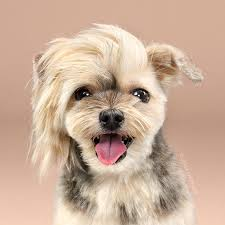 haircut for morkies dogs before and after their haircuts 16 pics bored panda