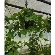 hanging u0026 trailing house plants house plants plants seeds