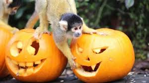 howling halloween treats for london zoo animals the animal facts