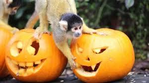 howling halloween treats for london zoo animals