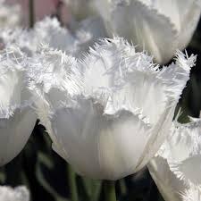 white honeymoon tulip honeymoon queenflowerbulbs