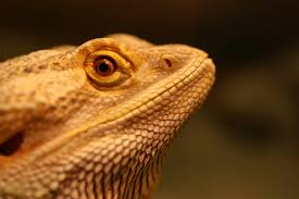 Bearded Dragon Behavior Before Shedding by Shed Stuck In Nostril For 2 Months U2022 Bearded Dragon Org