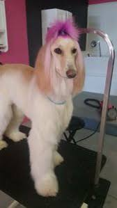 afghan hound grooming styles new color chalking available at your local petsmart grooming