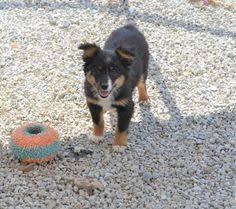 australian shepherd knoxville tn australian shepherd puppy for sale near knoxville tennessee