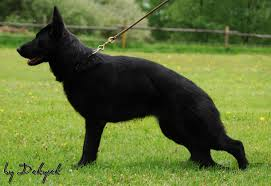 belgian sheepdog database a well deserved plug small brag page 1