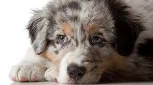 australian shepherd eye diseases australian shepherds