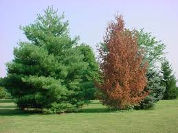 white pine trees white pine decline the p pdl picture of the week plant pest