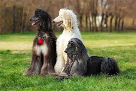 afghan hound walking afghan hound dog breed information pictures characteristics